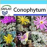 SAFLAX - Geschenk Set - Sukkulenten - Blühende Steine / Conophytum Mix - 40 Samen - Conophytum Mix
