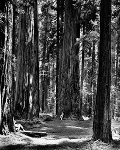 Giant Redwood Tree (Giant Redwood Trees in a Forest Stout Memorial Grove California USA Poster Drucken (60,96 x 91,44 cm))