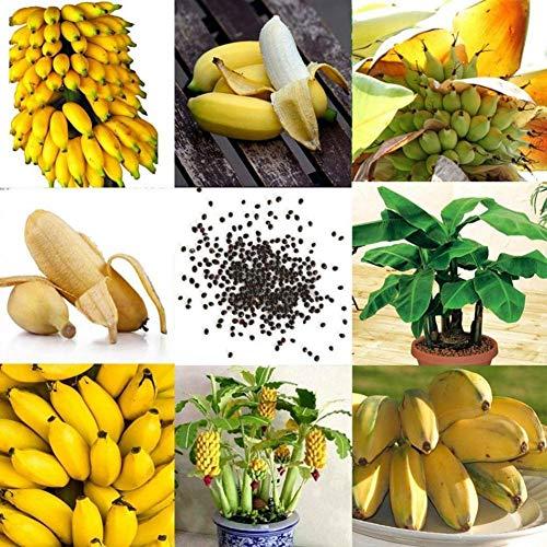 Maritown Mini-Bananensamen für den Anbau, mehrjährige Tropische winterharte Pflanzen Eingemachte Obstbäume für den heimischen Bauernhof-Hinterhof-Garten-Balkon 200 Samen zu Essen