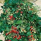 Dominik Blumen und Pflanzen Erdbeere Senga Sengana 10 Stck, plus 1 Paar Handschuhe gratis