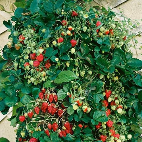 wann ist ernte erdbeeren tag ernte erdbeeren tag ist. Black Bedroom Furniture Sets. Home Design Ideas