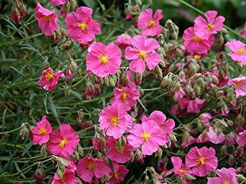 25x Sonnenröschen mutabile Samen (Rock Rose)–Krautige Mehrjährige Pflanze Garten Blume Terrasse Grenzen Pflanzen Samen (Garten-rock-grenze)