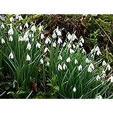 HomeAndGarden.UK Pack de 50 Galanthus Nivalis Perce-neige - Fleurissent au printemps