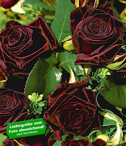 BALDUR-Garten Edelrosen 'Black Baccara®', 1 Pflanze
