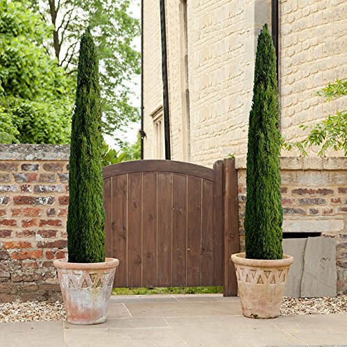 pair-of-italian-cypress-trees-80-100cm-tall-2-pieces