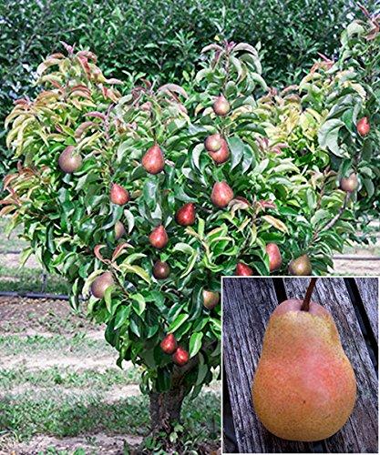 starkl-zwerg-birne-garden-gem-busch-1-stk-pyrus-communis-garden-gem-pyred-busch