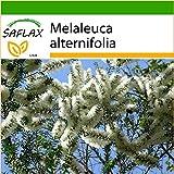 SAFLAX - Australischer Teebaum - 400 Samen - Mit...