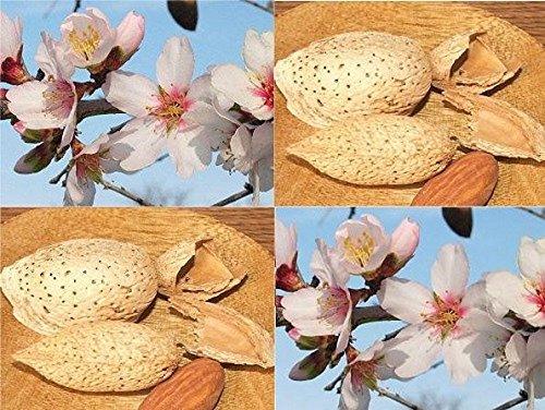 prunus-dulcis-sweet-edible-almond-nut-fruit-tree-4-5ft-supplied-in-a-75-litre-pot