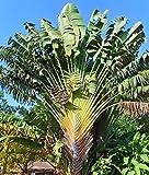 Baum der Reisenden Ravenala madagascariensis Banane Pflanze 10cm Strelitzie Musa