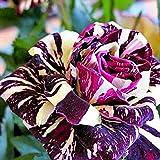 Rosen Samen, SummerRio Blumensamen Blumen Saatgut Seeds Regenbogen Rose Bunt Pflanze Garten Rarität Frisch Neuheit 100 stücke
