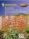 Blutsalbei Salvia coccinea Summer Jewel Red