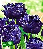BALDUR-Garten Tulpen 'Blue Diamond', 8 Zwiebeln