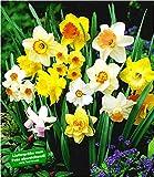 BALDUR-Garten 100 Tage-Narzissen-Mix, Osterglocken, 70 Zwiebeln Narcissus