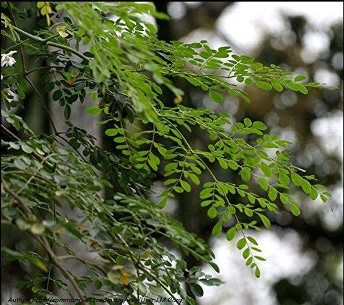 moringa-tree-drumstick-tree-moringa-oleifera-30-seeds