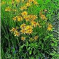 Kräutersamen - Arnika - 200 Samen von Nuts n' Cones bei Du und dein Garten