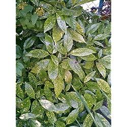Japanische Goldorange Aucuba japonica Variegata 30-40 cm hoch im 3 Liter Pflanzcontainer