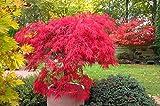 Roter Fächerahorn - 15 Samen - Acer Palmatum atropurpureum