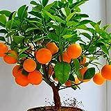 Edited Bonsai Obstbaum Samen, Obst Samen, Kiwi Samen, Kirsche Samen, Apfel Samen, Orange Samen, Eine Mischung von Arten Früchte Samen 50 Stück/Pack (Orange)