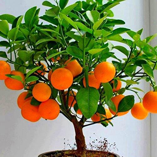 Yukio Samenhaus - 50Stück Saatgut Kiwi (Actinidia chinensis), Orangen, Apfel, Kirsche, Obst Samen Bio Samen Mischung