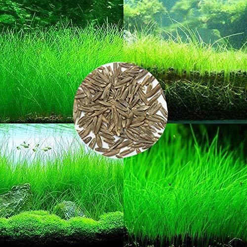 Semi di piante acquatiche per acquario,decorazione per acquari e vasche da giardino Guangzhou Hanrandianqi Shangmao Technology Co, Ltd. (10g)