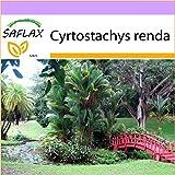 SAFLAX - Rotstielpalme/Siegellackpalme - 10 Samen - Cyrtostachys renda