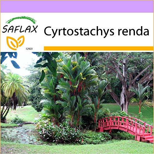 SAFLAX - Palmier à tronc rouge - 10 graines - Cyrtostachys renda