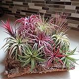 WuWxiuzhzhuo 100Tillandsien Samen, seltene Sortiert lonantha Air Pflanzen Garten Beauty Decor 1