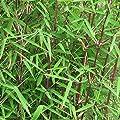 Horstbildender fargesia jiuzhaigou 1 - Jade Bambus von Blumen Senf bei Du und dein Garten