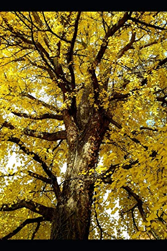 Ginkgo Biloba Tree with Brilliant Yellow Leaves Journal: Take Notes, Write Down Memories in this 150 Page Lined Journal -