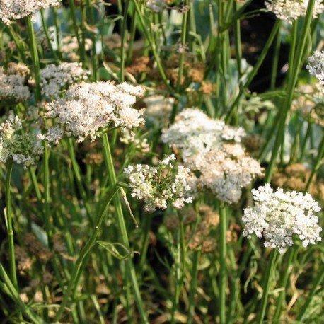 Châtaigne de terre - Carum bulbocastanum