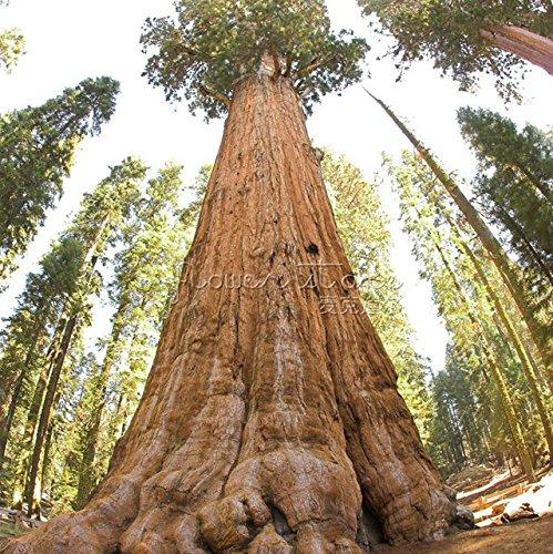 20 Samen PENDULA WEINENDE RIESEN Mammutbaum Baum