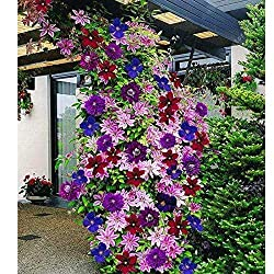 Clematis hagley Hybrid Kletterpflanze - 1,5 Liter Topfe Rosa /& Winterhart ClematisOnline Kletterpflanzen /& Blumen Waldrebe