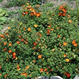 Dominik Blumen und Pflanzen Fünffingerstrauch Red Ace rotblühend, 3 Pflanzen, 1 Liter Container, 15-30 cm hoch, plus 1 Paar Handschuhe gratis