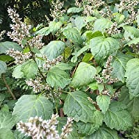 Patchouli Seeds (Pogostemon cablin) 50+ Aromatic Medicinal Herb Seeds + FREE Bonus 6 Variety Seed Pack - a $29.95 Value! Packed in FROZEN SEED CAPSULES for Growing Seeds Now or Saving Seeds for Years