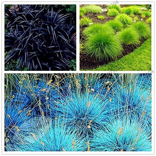 Portal Cool 8: 100Pcs New Blue Festuca Fesnea Glauca Erba Ornamentale perenne Hardy Ornamentali
