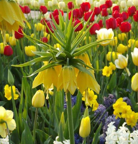 "Gelbe Kaiserkrone - Fritillaria imperialis\"" lutea\"""