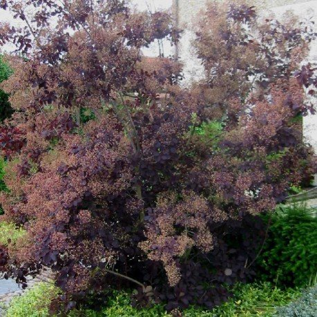 arbre-a-perruques-cotinus-coggygria-royal-purple