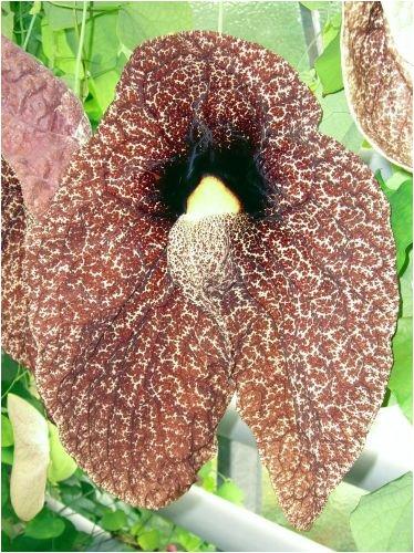 Wissenswertes Indische Lotusblume