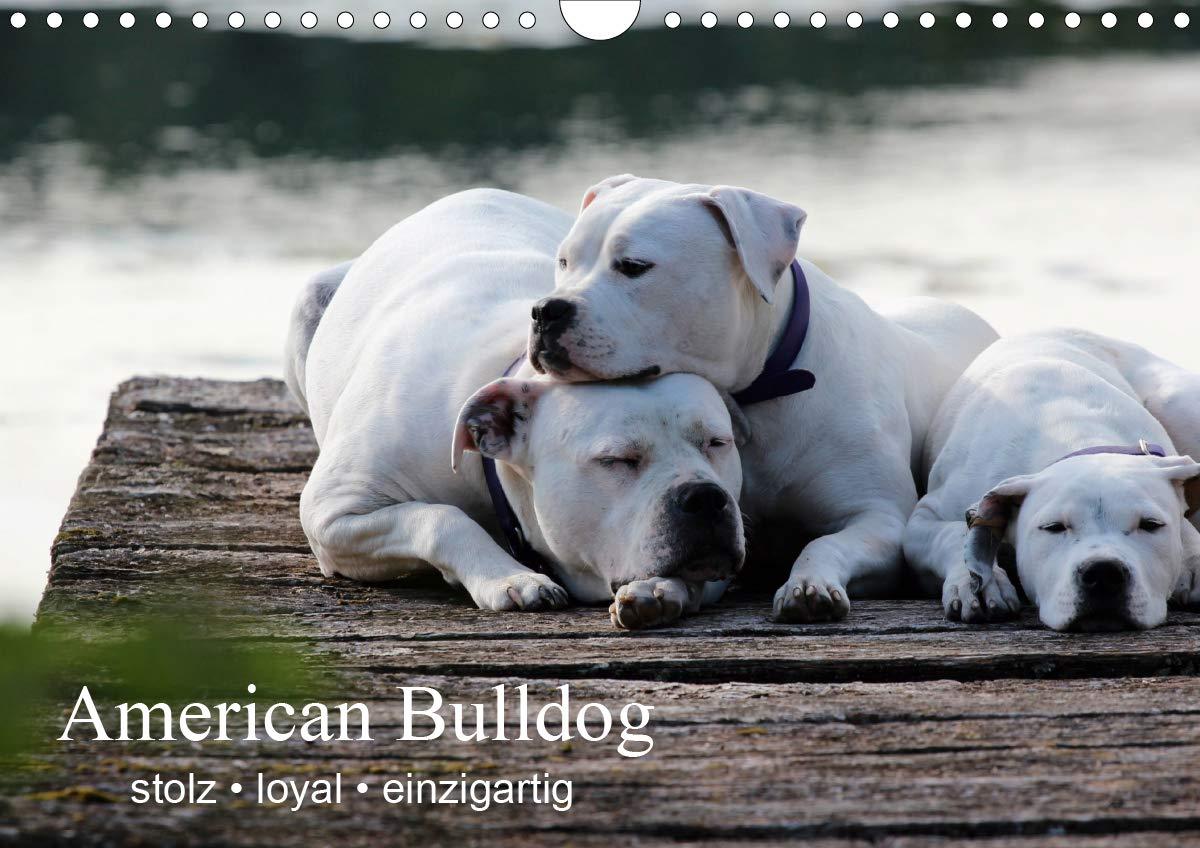 American Bulldog – Stolz, Loyal, einzigartig (Wandkalender 2020 DIN A3 quer)