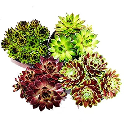 Hauswurz - Set aus 12 verschiedenen Sempervivum-Sorten von Exotenherz bei Du und dein Garten