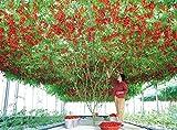 Best Tomato Plants - Vajra Seeds Italian Tomato Tree Trip L Crop Review