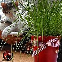 Katzengras - 1 pflanze