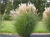 1 x Miscanthus sinensis 1 Liter (Ziergras/Gräser/Stauden) Chinaschilf ab 3,19 pro Stück