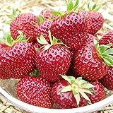 Generic Erdbeere 'Aroma Auslese' von Hummi - 12 Pflanzen in 7 cm Töpfen - besonders dunkelrote, aromatische Früchte - lockerer Wuchs, sehr ertragreich - Erdbeerpflanze von Pflanzen-Kölle