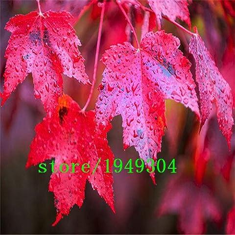 Il 100% di veri giapponesi semi rossi Acero Professional Service Pack Giardino ornamentale Albero 50 semi / pacchetto rosa