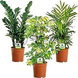 Indoor Plant Mix - 3 Plants - House / Office Live Potted Pot Plant Tree (Mix A - Schefflera Gerda, Zamioculca Zamiifolia & Chamaedorea Elegans)