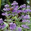 Bartblume 'Blue Sparrow'-Blauer Spatz von Garten Schlüter bei Du und dein Garten