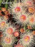 SwansGreen 12: Heiß! Regenbogen Eucalyptus Deglupta Samen, Stauden Angiospermen Blumen Pflanze, Eukalyptusbaum Anlage für Hausgarten-80 PC 12
