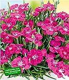 """BALDUR-Garten Bodendecker-Nelke""""Purple Pillow"""", 3 Pflanzen winterhart Dianthus"""