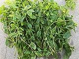 Portal Cool 20+ süße Minze, Mojito Mint Herb Pflanze Cutings